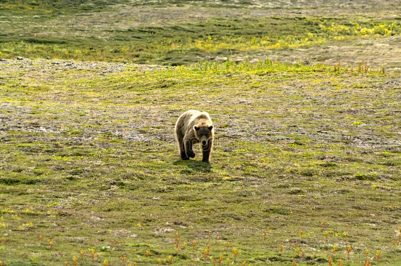 Stor brunbjörn som går i Katmai royaltyfri fotografi