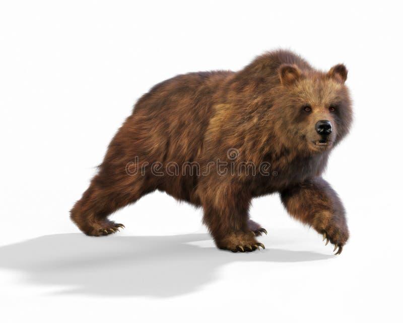 Stor brunbjörn som går på en isolerad vit bakgrund arkivbilder