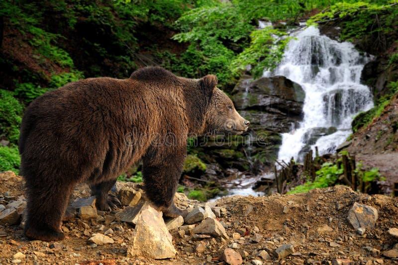 Stor brunbjörn som står på en vagga nära en vattenfall arkivfoton