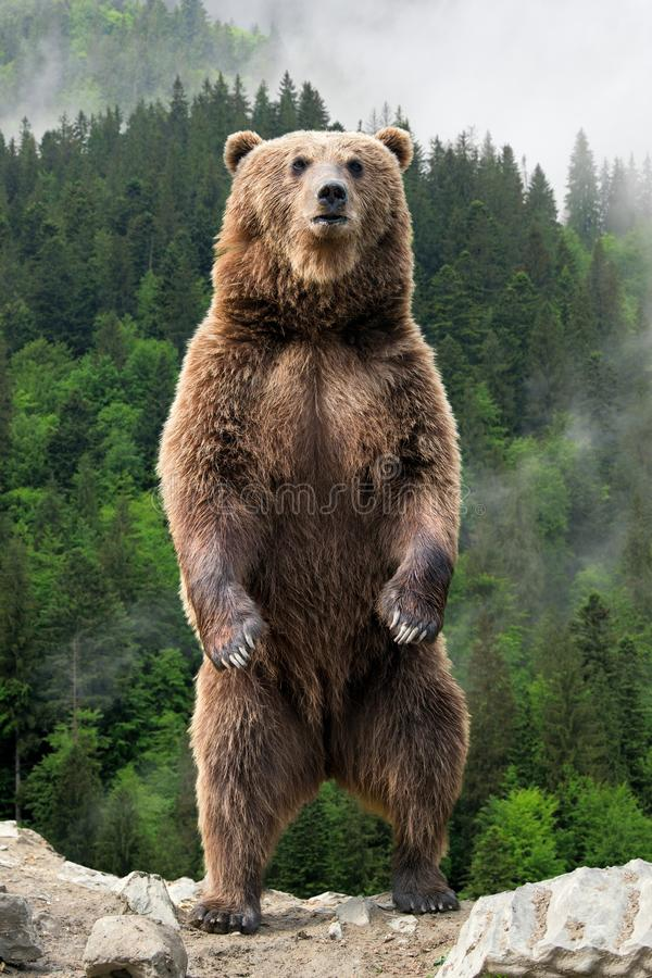 Stor brunbjörn som står på hans bakre ben arkivbild