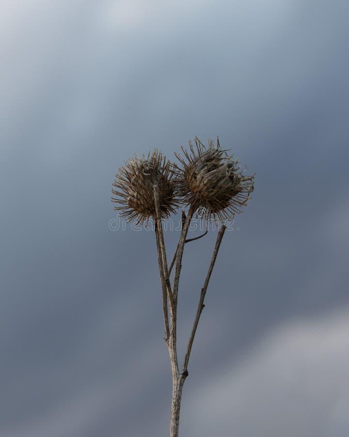 Stor bur för kardborre med frö mot en dramatisk himmel royaltyfria foton