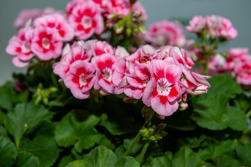 Stor buske av den rosa pelargon för två färg med blommor och knoppar Närbild arkivfoton