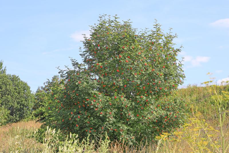 Stor buske av en bergaska med klungor av mogen berrie royaltyfri foto