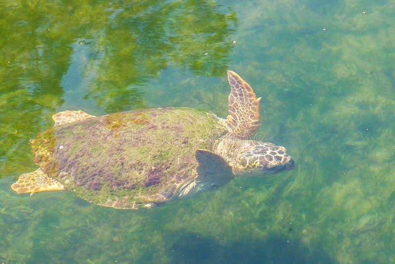 Stor Caretta för Caretta för havssköldpadda i medelhavet arkivbilder