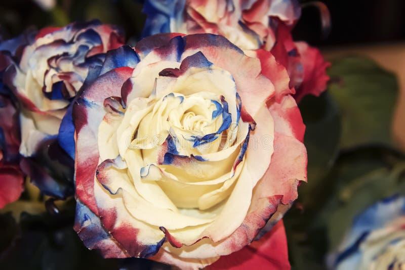 Stor closeup av den härliga röda vita och blåa rosa blomningen med suddig bakgrund arkivfoton