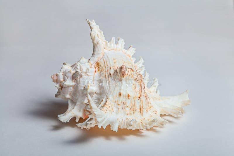 Stor cockleshell med långa skarpa taggar royaltyfria foton