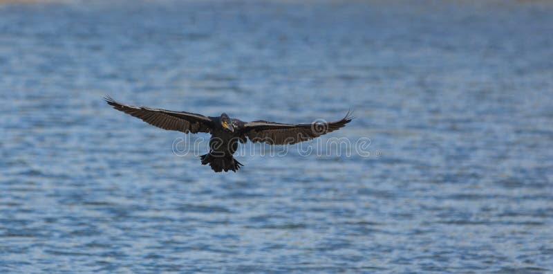 Stor Cormorant för landning royaltyfria bilder