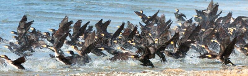 Stor Cormorant Lake i nordvästliga Mongoliet arkivfoton