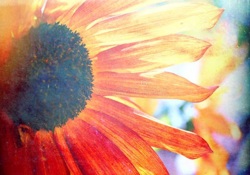 Stor djärv Backlit solrosblomning royaltyfria foton