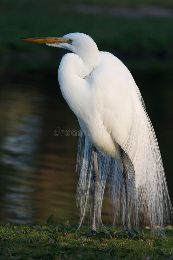 stor egret 2 fotografering för bildbyråer