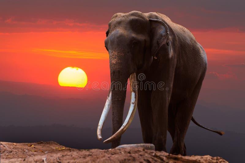 Stor elefant med långt elfenben arkivbilder