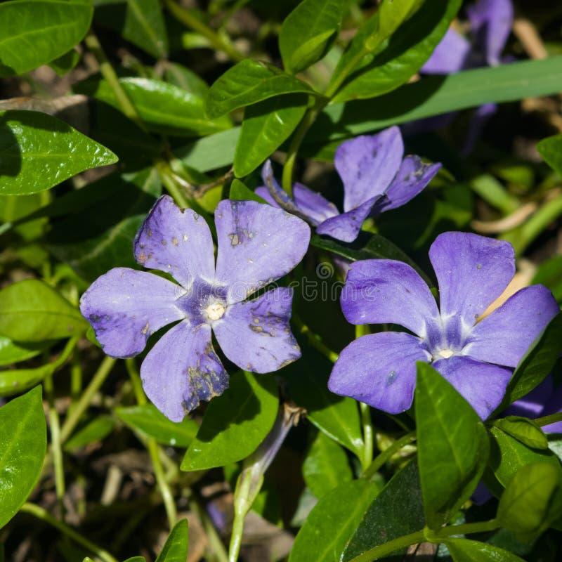 Stor eller blå viktig Perwinkle Vinca, blommamakro, selektiv fokus, grund DOF arkivbild