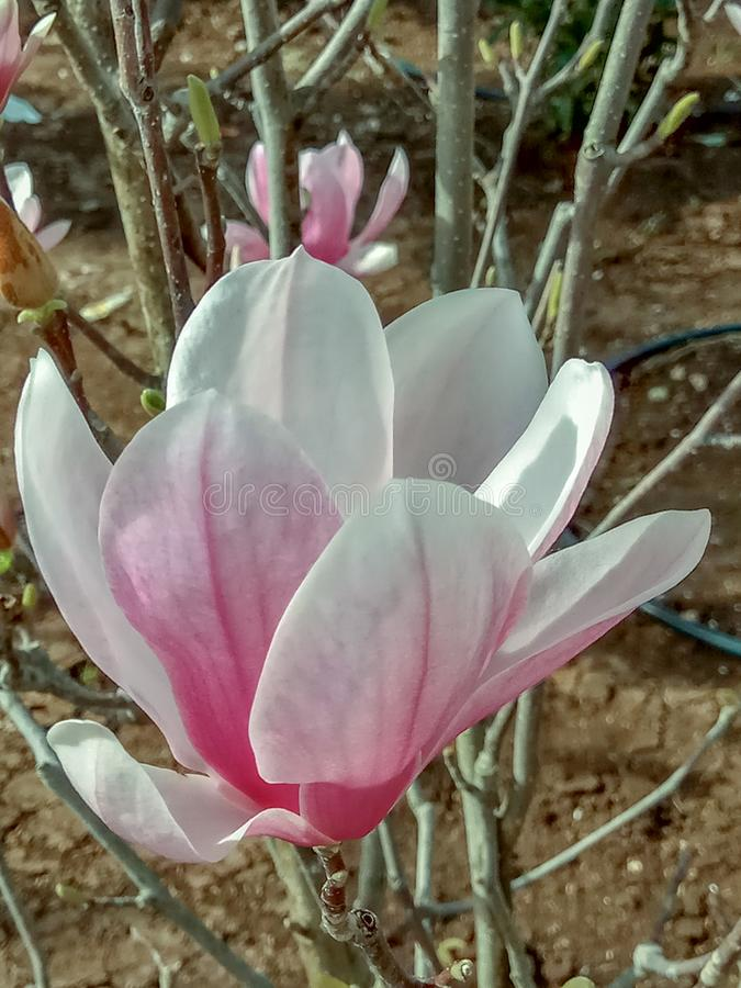 Stor en purpurfärgad blommamagnolia Naturbegrepp för designen royaltyfri foto