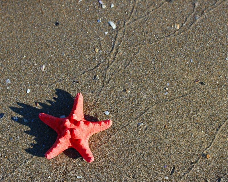 Stor enkel röd sjöstjärna som ligger på den tropiska havsstranden royaltyfri bild