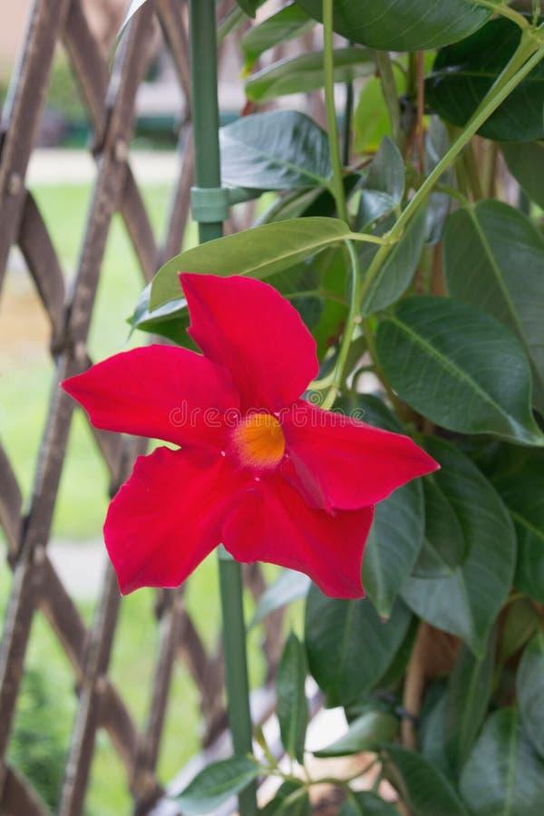 Stor enorm röd blomma Mandeville Sanderi med gröna sidor fotografering för bildbyråer