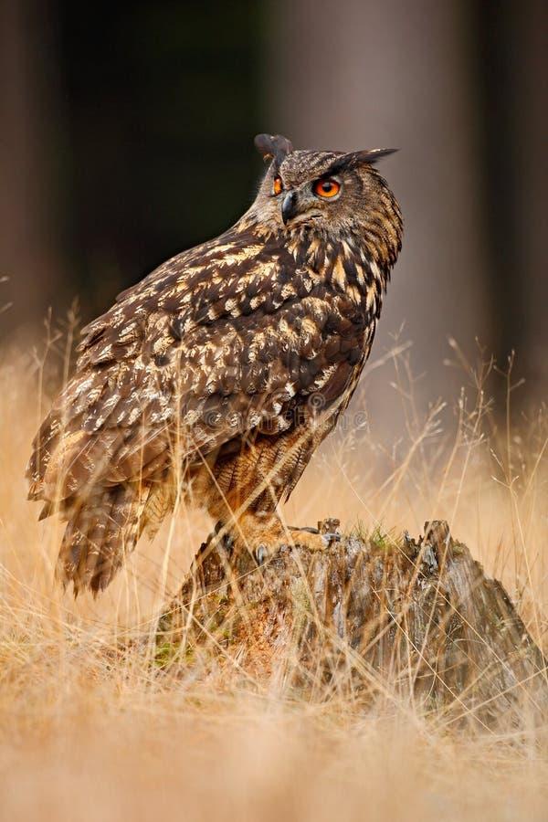 Stor Eurasian Eagle Owl, fågelsammanträde på stubben i mörk skog med gräs arkivfoto