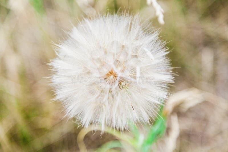 Stor fältmaskros på suddig bakgrund fotografering för bildbyråer