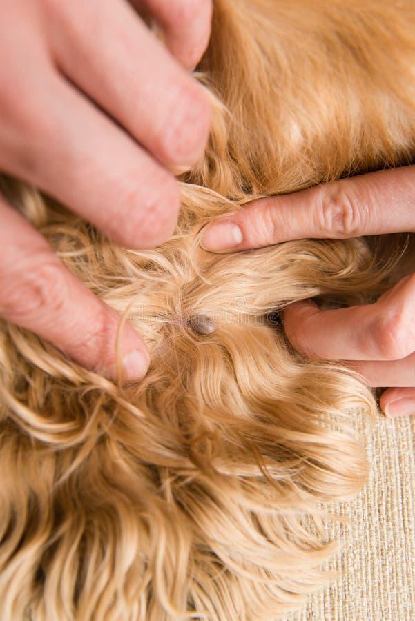 Stor fästing inom av hundhudslut upp royaltyfri fotografi