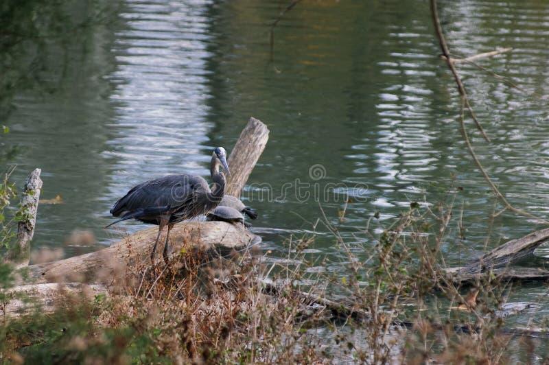 Stor fågel för blå häger med svarta sköldpaddor i höstdelstatspark arkivfoton