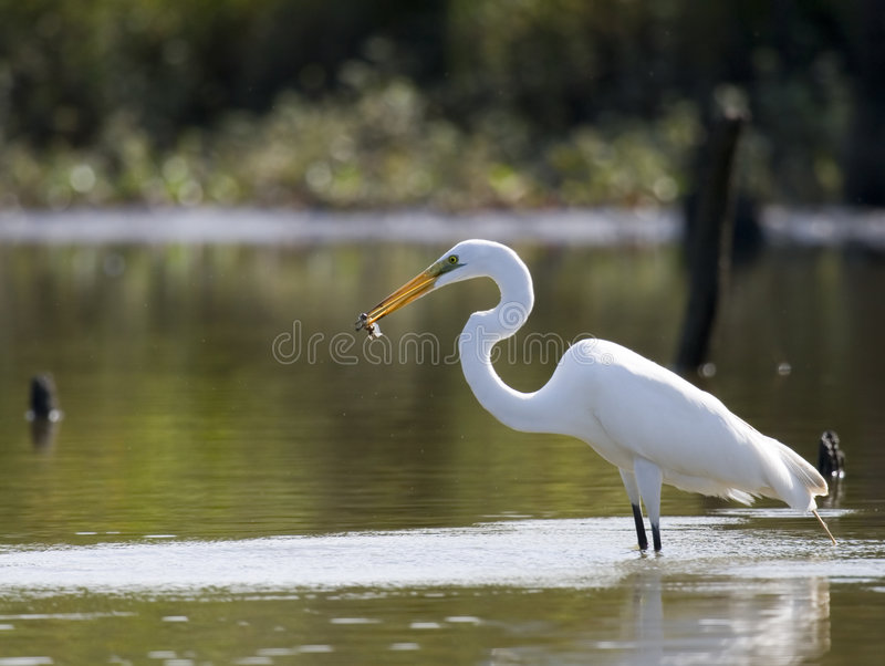 stor fisk för 2 egret arkivbild