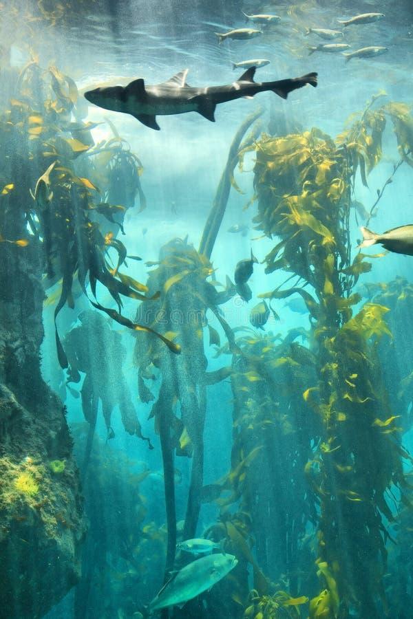 Stor fisk i undervattens- kelpskog royaltyfria foton