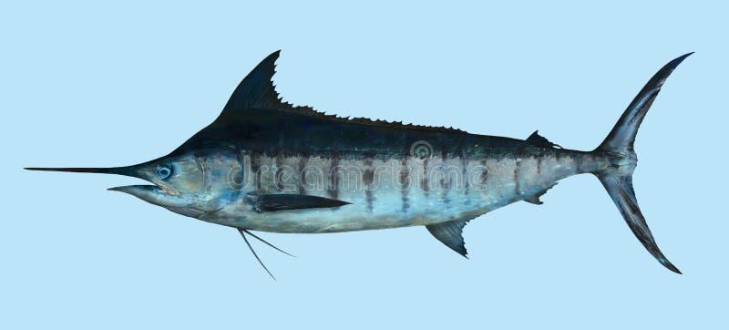 Stor fiskestående för blå Marlin fotografering för bildbyråer