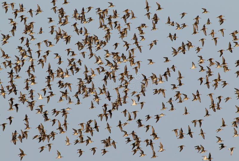 Stor flock av dunlins i flykten royaltyfria bilder