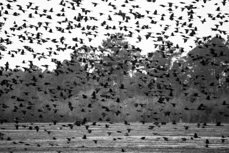 Stor flock av koltraster fotografering för bildbyråer