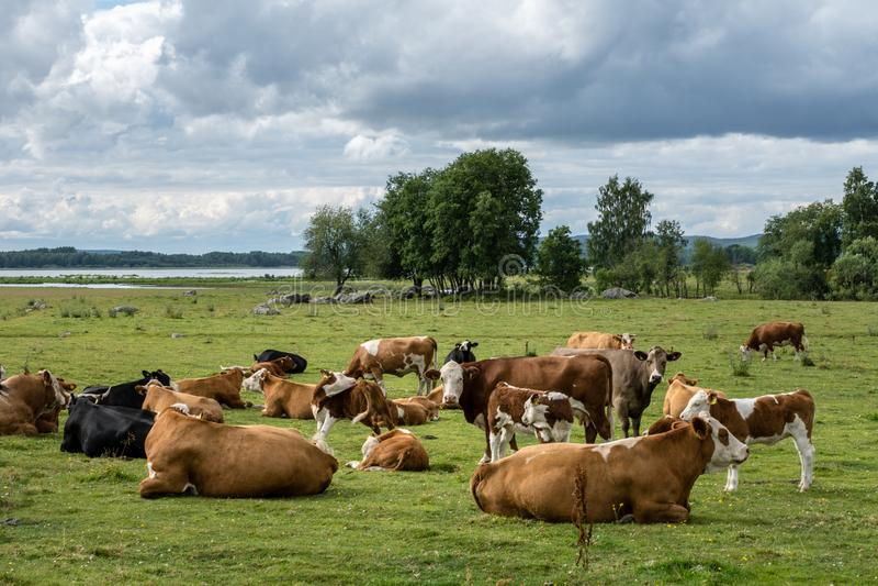 Stor flock av kor med kalvar som vilar i ett grönt fält royaltyfri foto