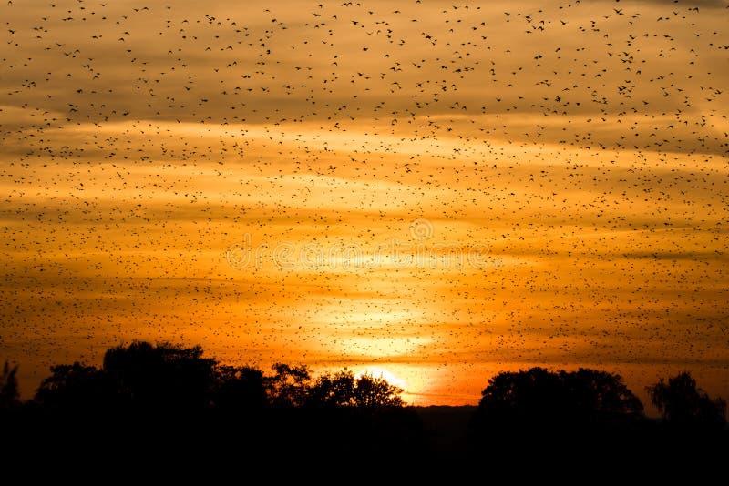 Stor flock av stare (sturnusen som är vulgaris) framme av solnedgång fotografering för bildbyråer