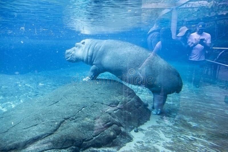 Stor flodhäst som är undervattens- i San Diego Zoo Animal Habitat Enclosure arkivbild