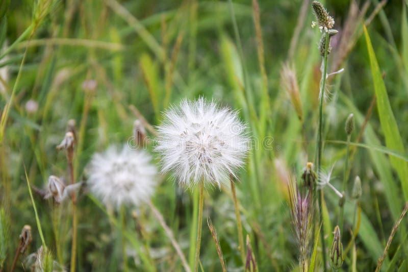 Stor fluffig maskros två på en bakgrund av gröna ängar Brokigt gräs, början av sommar fotografering för bildbyråer