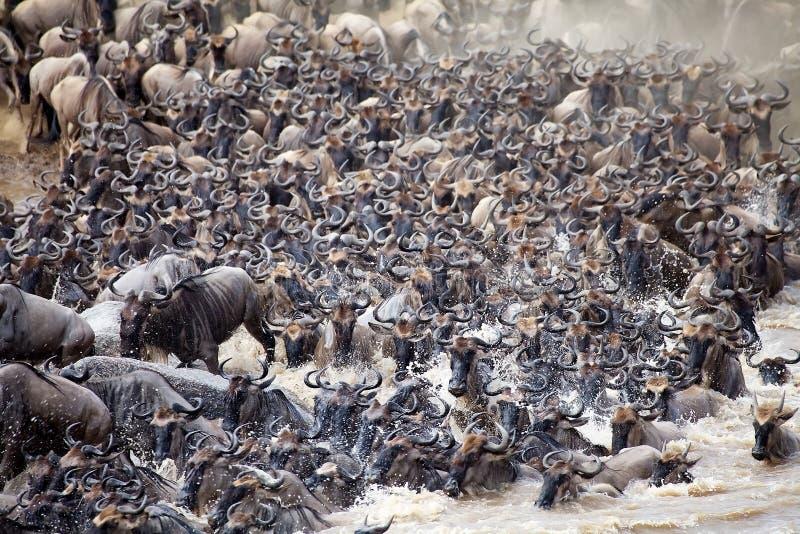 Stor flyttning för gnu (Connochaetestaurinus) fotografering för bildbyråer