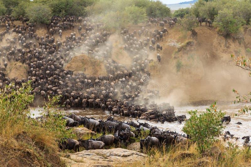 Stor flyttning i Afrika Enorma flockar av herbivor korsar Mara River kenya royaltyfri bild
