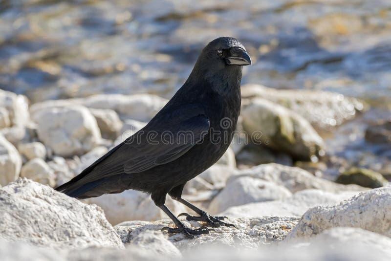 Stor galandefågel i glansig svart fjäderdräkt, tungt räkninganseende på ro royaltyfri foto