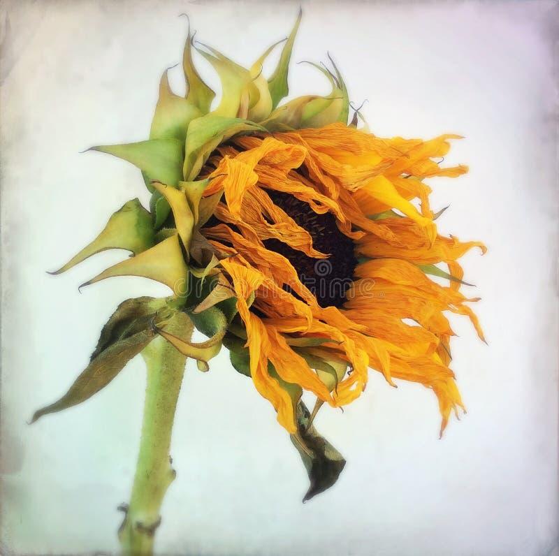 Stor gammal solros nummer 2 fotografering för bildbyråer