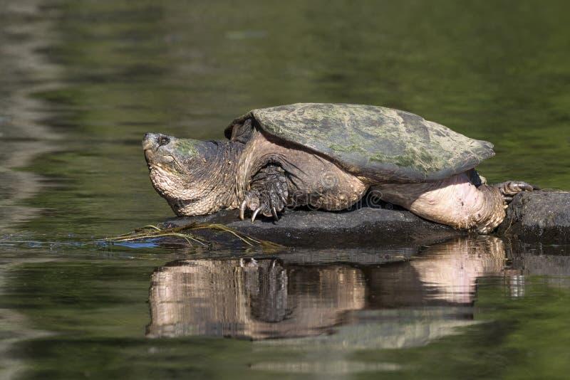 Stor gemensam låsande fast sköldpadda som värma sig på en vagga - Ontario, Kanada royaltyfria foton