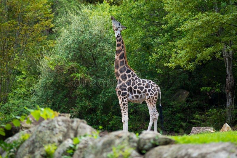 Stor giraff i dess naturliga livsmiljö arkivbild