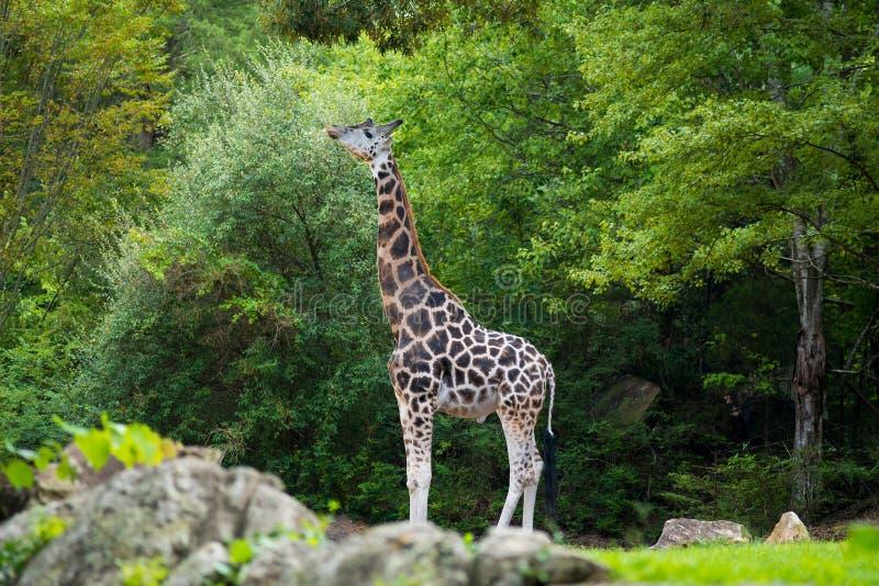 Stor giraff i dess naturliga livsmiljö royaltyfri foto