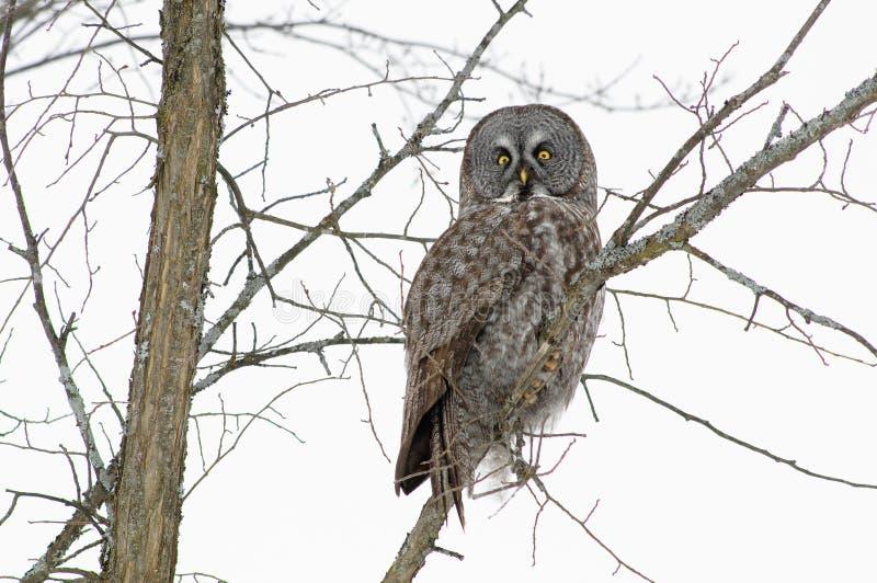 Stor Grå FärgOwl I Vinter Royaltyfri Fotografi