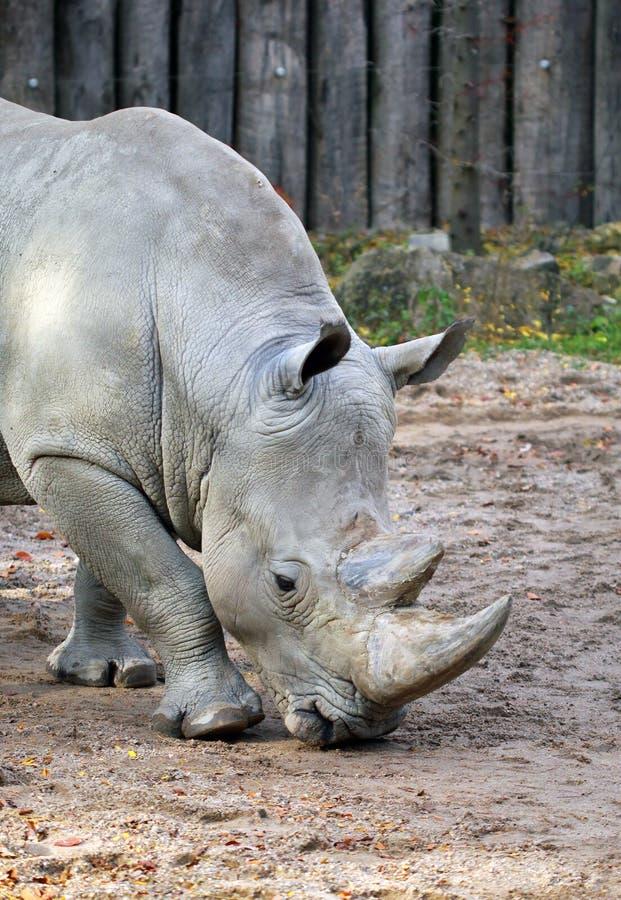 Download Stor grå noshörning fotografering för bildbyråer. Bild av natur - 37348135