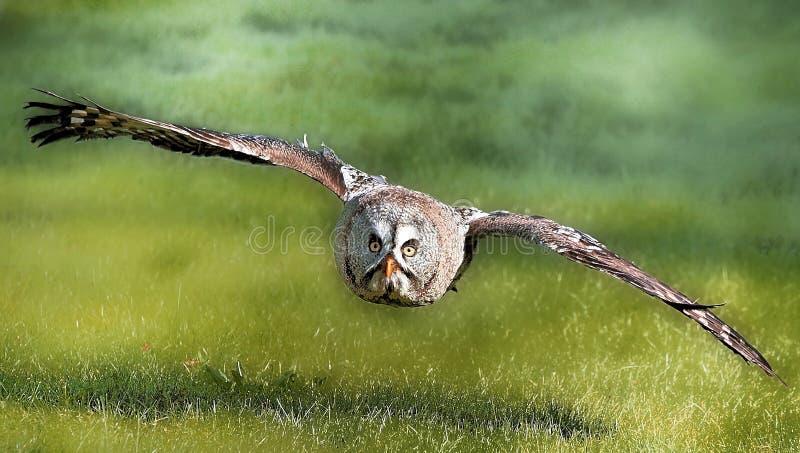 stor grå owl royaltyfri fotografi