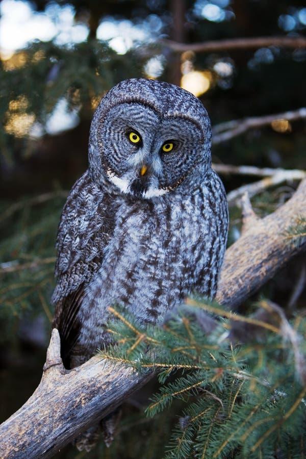 stor grå owl arkivbilder