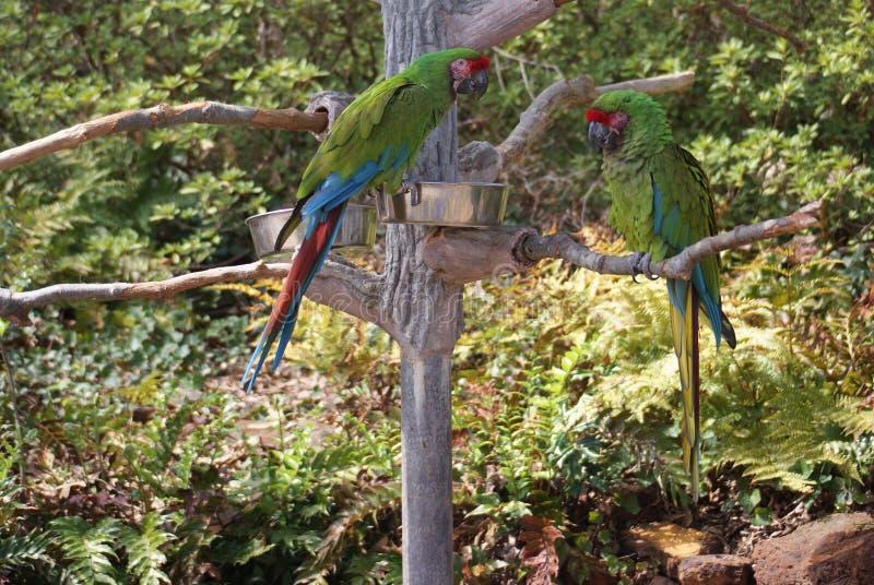 Stor grön ara som sitter i ett träd royaltyfri fotografi