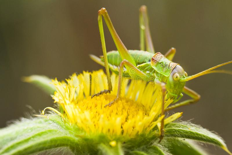 Stor grön Bush-Syrsa (den Tettigonia viridissimaen) royaltyfri foto