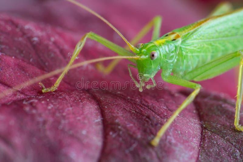 Stor grön gräshoppa på röda tjänstledigheter, makro arkivbilder