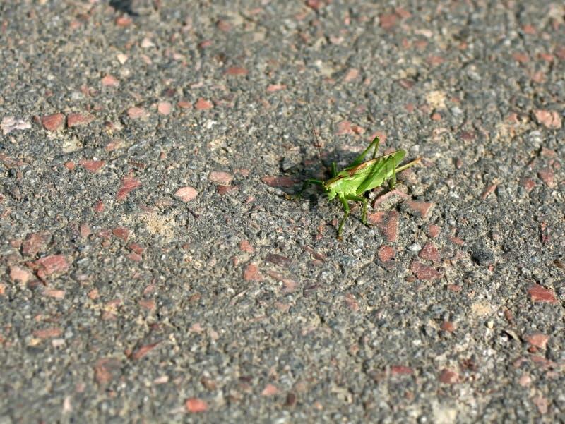 Stor grön gräshoppa på trottoaren Gr?shoppakryp arkivfoto