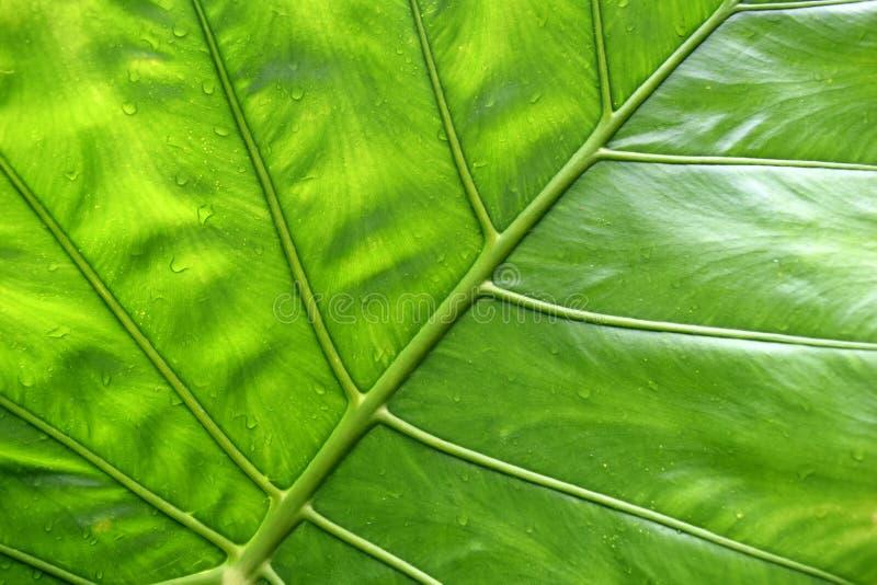 Stor grön tropisk bladbakgrund - jätte- upprätt närbild för elefantöra arkivfoto