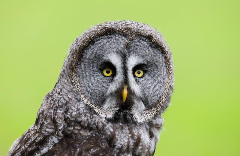 Stor Grey Owl Strix nebulosafågel av rovet royaltyfria bilder