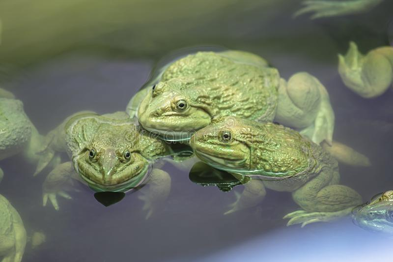 Stor groda i vattnet på lantgården fotografering för bildbyråer